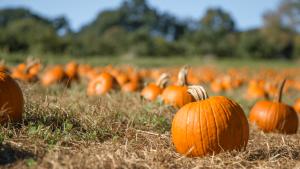 Fall Feeling - Pumpkins