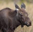 Aug 17 2015 Yearling Moose
