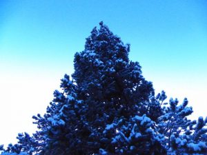 Snow Covered Spruce Tree