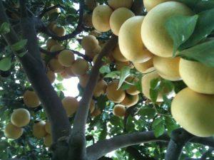 Bountiful Grapefruit Crop.