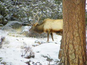 Six by Six Bull Elk in Rocky Mountain National Park