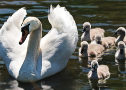 swans in lakeland